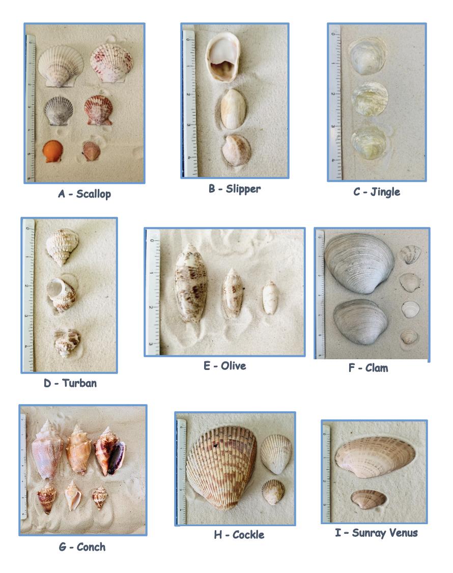 Seashells A-I